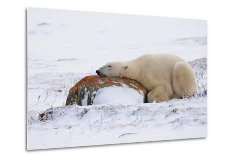 Polar Bear Resting, Churchill, Hudson Bay, Manitoba, Canada, North America-Bhaskar Krishnamurthy-Metal Print