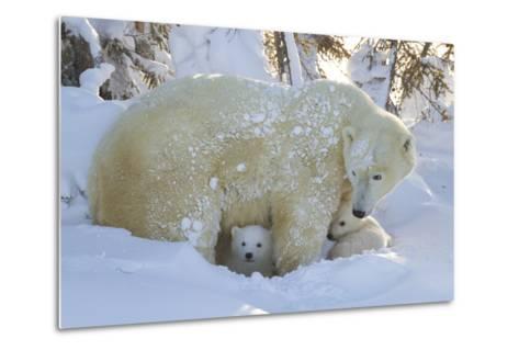 Polar Bear (Ursus Maritimus) and Cubs, Wapusk National Park, Churchill, Hudson Bay, Canada-David Jenkins-Metal Print