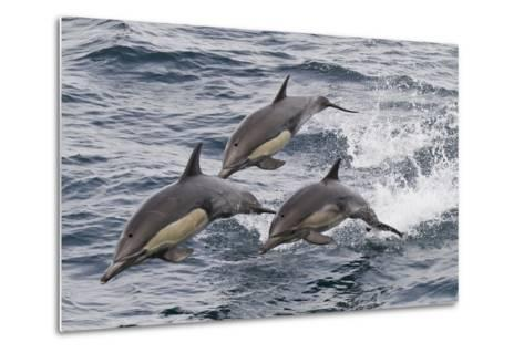 Long-Beaked Common Dolphin, Isla San Esteban, Gulf of California (Sea of Cortez), Mexico-Michael Nolan-Metal Print