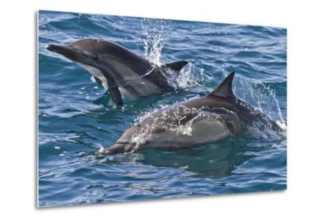 Long-Beaked Common Dolphin, Isla San Esteban, Gulf of California (Sea of Cortez), Mexico-Michael Nolan-Metal Print