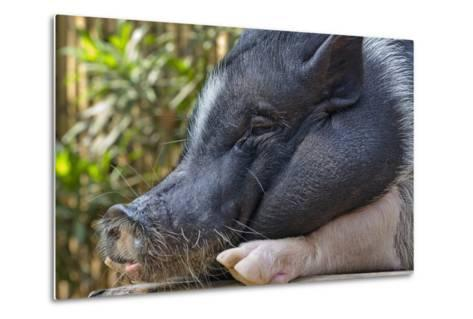 Hog in the Philippines-Keren Su-Metal Print