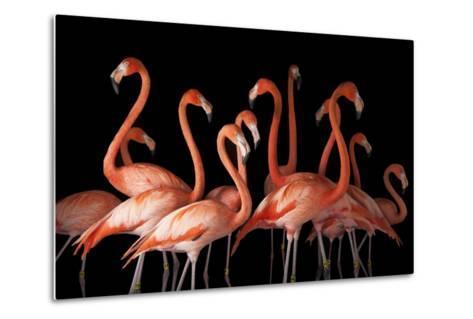 A Group of American Flamingos, Phoenicopterus Ruber-Joel Sartore-Metal Print