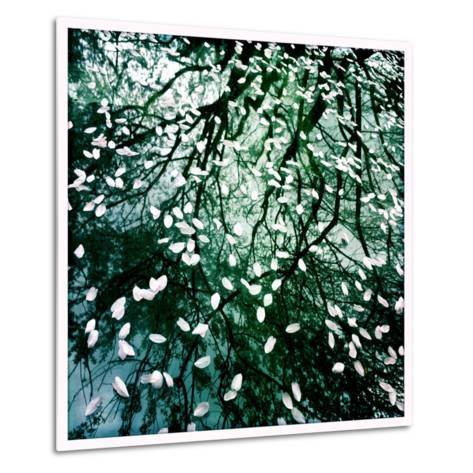 Cherry and Pear Tree Petals and Reflections on the Hood of a Car-Skip Brown-Metal Print