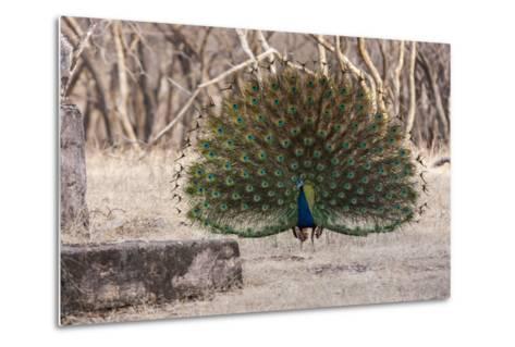 Portrait of a Male Indian Peacock, Pavo Cristatus, Displaying-Jonathan Irish-Metal Print