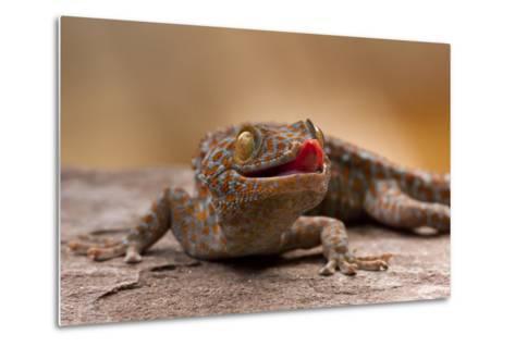 Close-Up of Tokay Gecko Lizard on Rock, North Carolina, USA--Metal Print