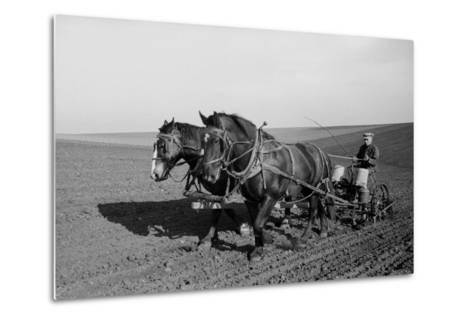 Two Large Work Horses Pull the Farmer and His Corn Seed Drill in Iowa, 1940s--Metal Print