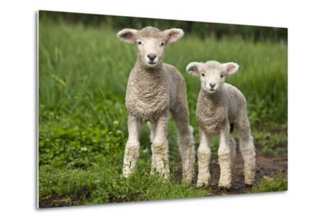 Portrait of Two Cute Baby Sibling Romney Lambs in a Green Pasture-Karine Aigner-Metal Print