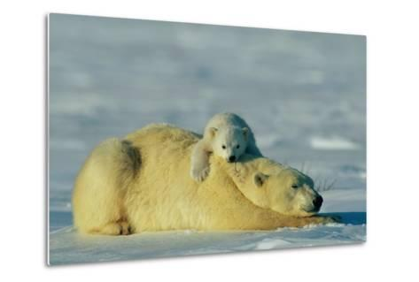 This Young Polar Bear (Ursus Maritimus) Cub Rests Comfortably Atop the Back of His Mother-Norbert Rosing-Metal Print