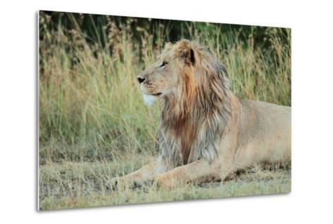 Portrait of a Male Lion, Panthera Leo, Resting But Alert-Joe Petersburger-Metal Print