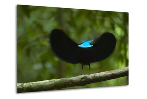 A male magnificent riflebird shape shifts to impress a potential mate.-Tim Laman-Metal Print