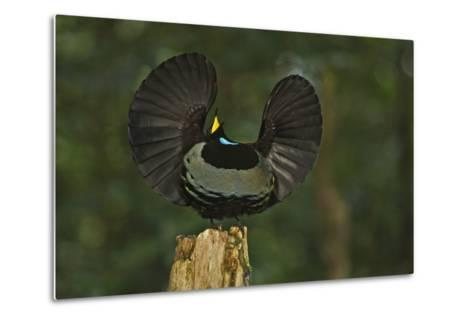 A Male Victoria's Riflebird on Display Perch Tries to Lure Down a Female with His Spread Wings-Tim Laman-Metal Print