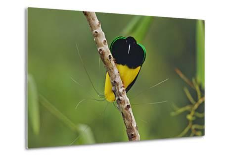 A Male Twelve Wired Bird of Paradise at His Display Pole-Tim Laman-Metal Print