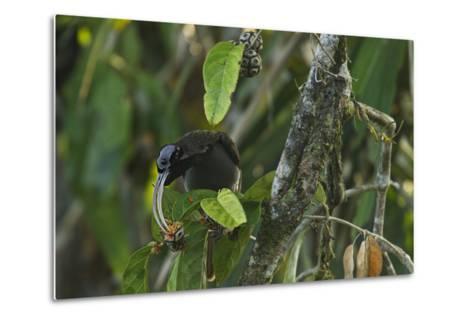 A Male Pale Billed Sicklebill Perches on a Tree Branch-Tim Laman-Metal Print