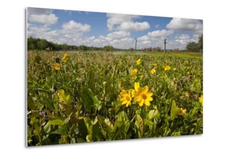 Wetland Sunflowers, Emergent Aquatic Flora, Brazos Bend State Park Marsh, Texas, USA-Larry Ditto-Metal Print
