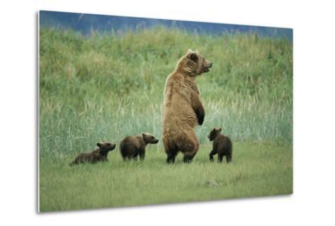An Alaskan Brown Bear Stands Up to Look Out for Any Danger As She Protects Her Three Cubs-Roy Toft-Metal Print
