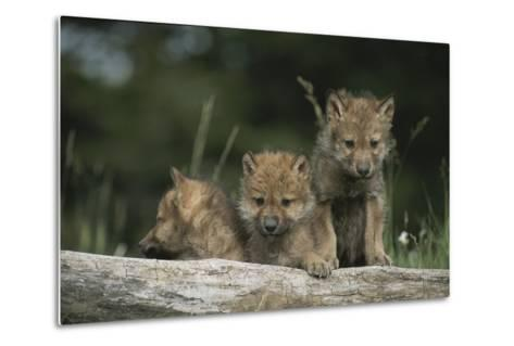 A Trio of Captive Wolf Pups  Stand Behind a Fallen Tree Trunk-Tom Murphy-Metal Print