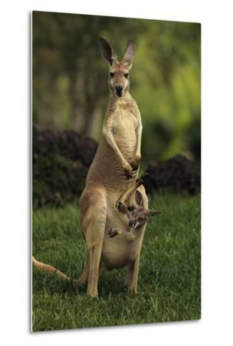 A Captive Red Kangaroo (Macropus Rufus) Mother Carrying Her Young in Her Pouch-Tim Laman-Metal Print