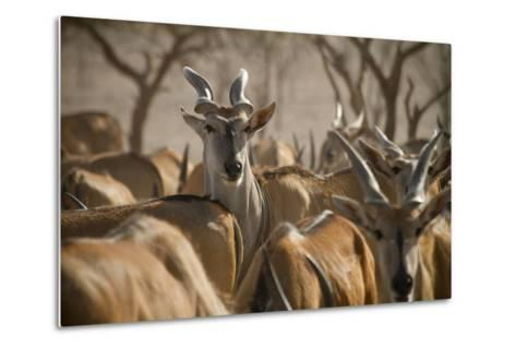 A Taurotragus Oryx Stands Out From the Crowd-Ira Block-Metal Print