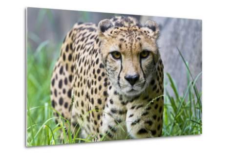 Portrait of a Female Cheetah, Acinonyx Jubatus-Karine Aigner-Metal Print
