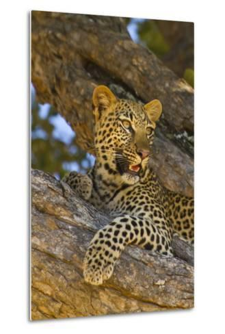 Portrait of a Leopard Perched in a Tree-Ralph Lee Hopkins-Metal Print