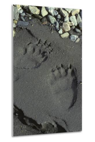 Grizzly Bear Tracks, Denali National Park, Alaska, USA-Gerry Reynolds-Metal Print