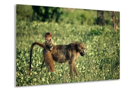 Baboon Carrying Youth-Beverly Joubert-Metal Print