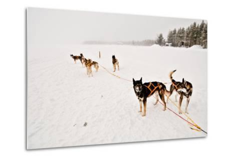 Siberian Husky Sled Dogs Wearing Sled Harnesses Wait to Pull a Sled Over a Frozen Lake-Lola Akinmade Akerstrom-Metal Print