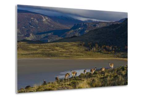 Guanacos Graze and Roam in the Grasslands of the Chacabuco Valley-Beth Wald-Metal Print