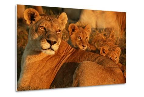 African Lioness, Panthera Leo, and Her Cubs Resting-Beverly Joubert-Metal Print