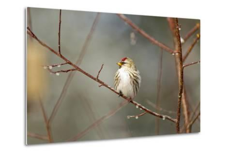 A Common Redpoll Perches on a Twig Ornamented with Dew Drops-Matthias Breiter-Metal Print