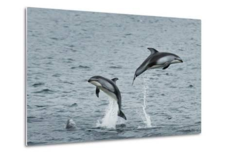 Pacific White-Sided Dolphins Jump Out of the Ocean-Ralph Lee Hopkins-Metal Print