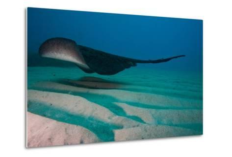 A Marbled Ray Hovers over the Sandy Ocean Floor-Ben Horton-Metal Print