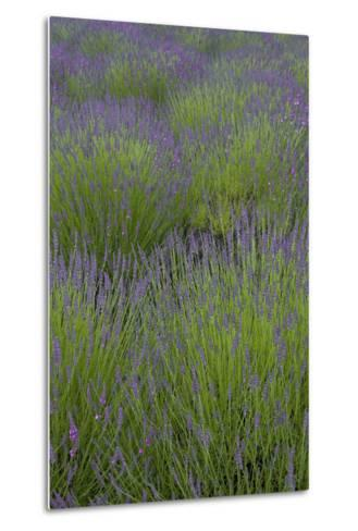 Farm Fields in Bloom at Lavender Festival, Sequim, Washington, USA-John & Lisa Merrill-Metal Print