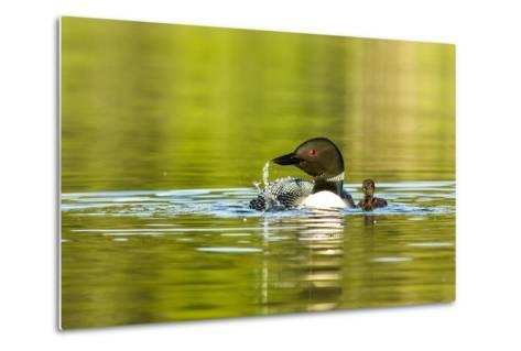 Female Common Loon Bird with Newborn Chick on Beaver Lake, Whitefish, Montana, USA-Chuck Haney-Metal Print