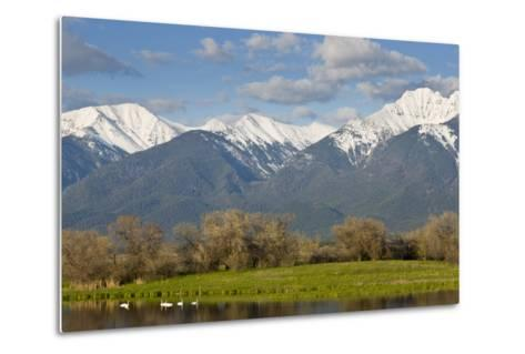 Trumpeter Swan Birds in Pond, Mission Mountain Range, Ninepipe, Ronan, Montana, USA-Chuck Haney-Metal Print
