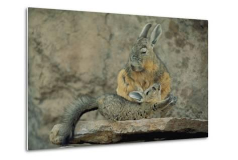 Baby Viscacha in Full Stretch in Front of Its Resting Mother-Joel Sartore-Metal Print