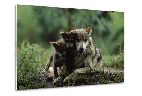 Pups of Captive Mexican Gray Wolves-Joel Sartore-Metal Print