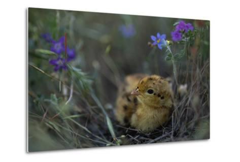 An Attwater's Prairie Chick (Tympanuchus Cupido Attwateri)-Joel Sartore-Metal Print