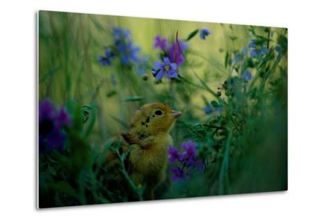 attwater's Prairie Chicken, Young Chick in Flower-Joel Sartore-Metal Print