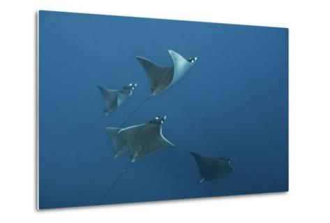 A School of Devil Rays Swim As They Filter Feed Off Isla Mujeres-Mauricio Handler-Metal Print