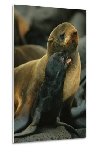 A Northern Fur Seal and Pu-Joel Sartore-Metal Print