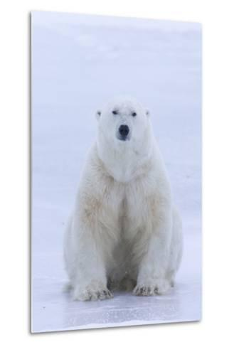 A Portrait of a Blood Stained Male Polar Bear Sitting on Sea Ice-Matthias Breiter-Metal Print