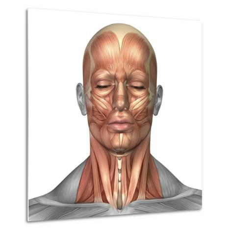 Anatomy of Human Face And Neck Muscles, Front View-Stocktrek Images-Metal Print