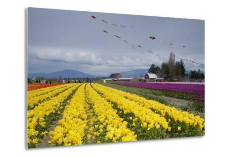 Tulips in Bloom, Annual Skagit Valley Tulip Festival, Mt Vernon, Washington, USA-John & Lisa Merrill-Metal Print