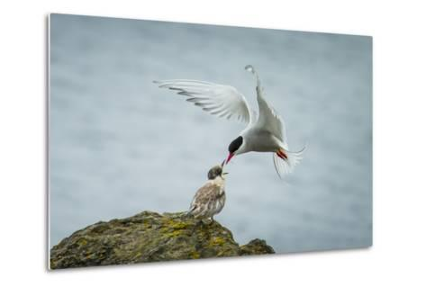 An Arctic Tern Feeds a Chick While in Flight-Ralph Lee Hopkins-Metal Print