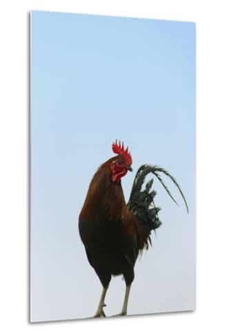 Rooster, Banaue, Ifugao Province, Philippines-Keren Su-Metal Print
