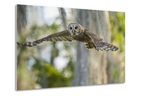 Barred Owl (Strix Varia) in Bald Cypress Forest on Caddo Lake, Texas, USA-Larry Ditto-Metal Print