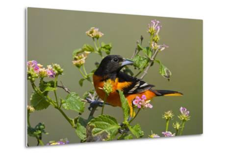 Baltimore Oriole Bird Foraging During Migration on South Padre Island, Texas, USA-Larry Ditto-Metal Print