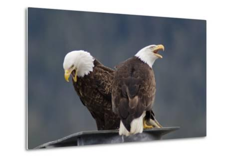 Bald Eagles Perched On a Dock Piling in Juneau Harbor, Calling-Rich Reid-Metal Print