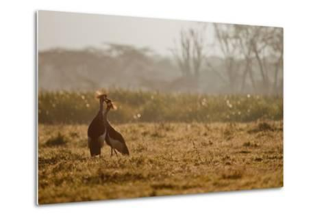 Two Crowned Cranes, Balearica Pavonina, Kissing in Early Morning Mist-Robin Moore-Metal Print